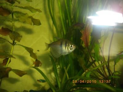 Помогите опознать рыбку опознание рыб  - IMGP0382.JPG