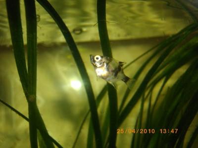 Помогите опознать рыбку опознание рыб  - IMGP0386.JPG
