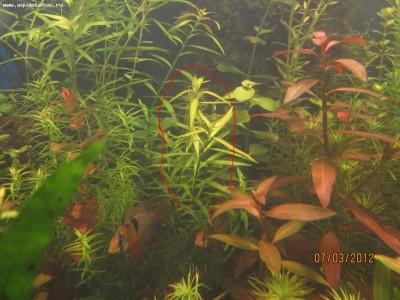 Аквариумные растения - опознание растений. - фото3.jpg