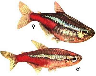 Как узнать пол у рыбок? - neon copy.jpg