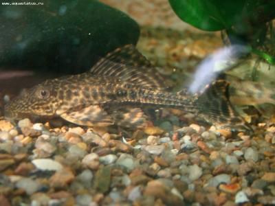 Помогите опознать рыбку опознание рыб  - DSC03282.JPG