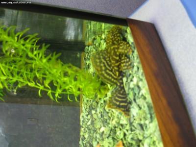 Помогите опознать рыбку опознание рыб  - IMG_2702.JPG