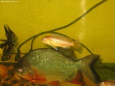 Помогите опознать рыбку опознание рыб  - IMG_0482.JPG