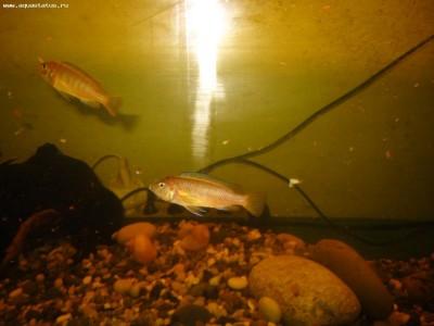Помогите опознать рыбку опознание рыб  - IMG_0485.JPG