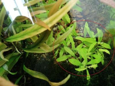 Аквариумные растения - опознание растений. - DSC09504.JPG