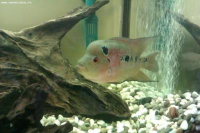 Помогите опознать рыбку опознание рыб  - IMAG0041.jpg