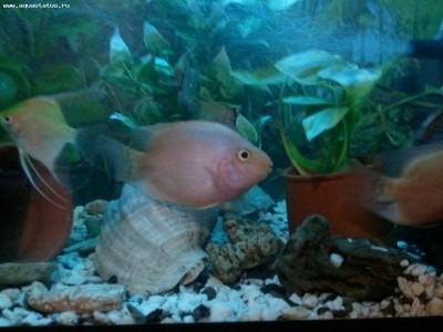 Помогите опознать рыбку опознание рыб  - Фото0733.jpg