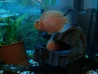 Помогите опознать рыбку опознание рыб  - Фото0731.jpg