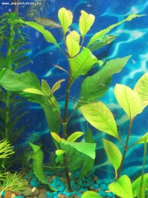 Аквариумные растения - опознание растений. - IMG_1663.jpg