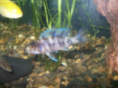 Помогите опознать рыбку опознание рыб  - 100_5746.JPG