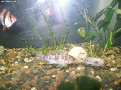 Помогите опознать рыбку опознание рыб  - 100_5765.JPG