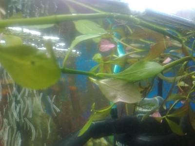 Опознание аквариумных растений - людвигия.jpg