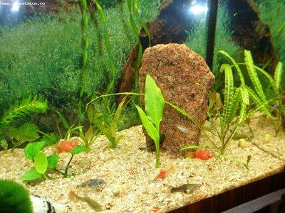 Опознание аквариумных растений - P3260163.JPG