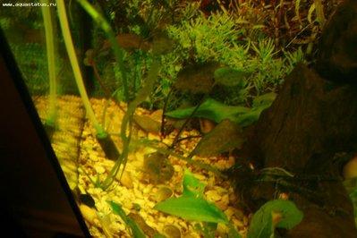 Опознание аквариумных растений - IMG_0150_m.jpg