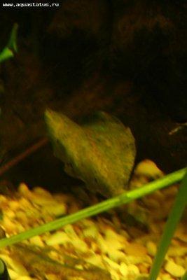 Опознание аквариумных растений - IMG_0142_m.jpg