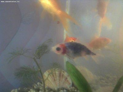 Помогите опознать рыбку опознание рыб  - CameraZOOM-20120401183119.jpg
