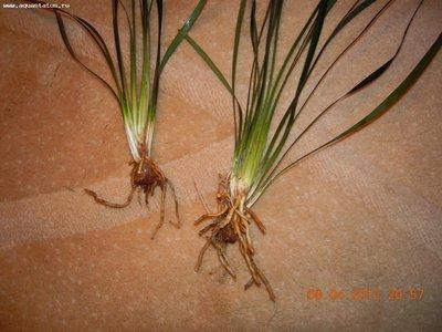 Аквариумные растения - опознание растений. - DSCN6871.JPG