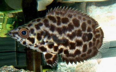 Помогите опознать рыбку опознание рыб  - p1_11111191731733.JPG