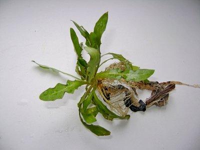Аквариумные растения - опознание растений. - DSC04551.JPG