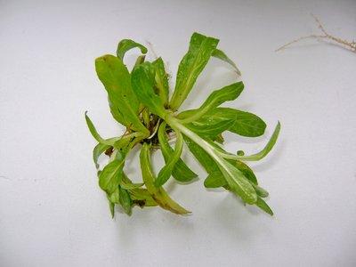 Аквариумные растения - опознание растений. - DSC04552.JPG