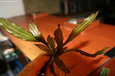 Аквариумные растения - опознание растений. - IMG_9167.JPG