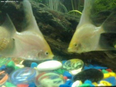 что это за рыбки? очень похожи на скалярий, но нет нижних усиков - 160420121337.jpg