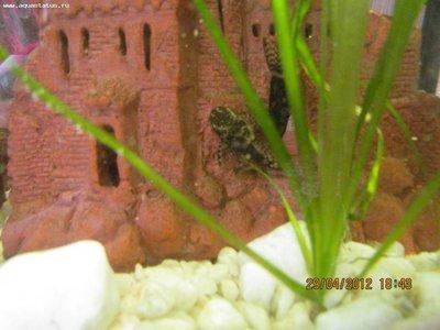 Помогите опознать рыбку опознание рыб  - IMG_2659.JPG