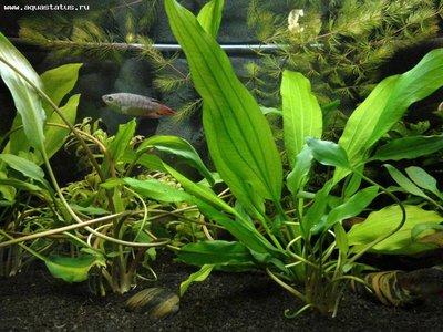 Аквариумные растения - опознание растений. - Наши фото 005.JPG
