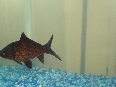 золотая рыбка поменяла цвет - DSC03896.JPG