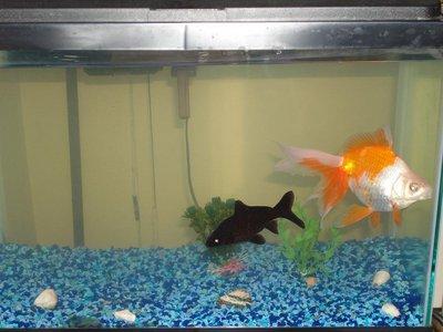 золотая рыбка поменяла цвет - DSC03900.JPG