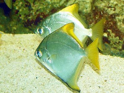 Монодактил серебряный, Серебряная ласточка Monodactylus argenteus  - monodactylus-argenteus-1-.jpg