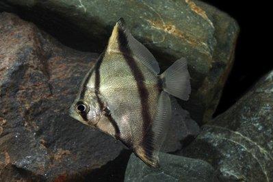 Монодактил серебряный, Серебряная ласточка Monodactylus argenteus  - MONODACTYLUS_SEBAE_T.R._REG_5_2.jpg