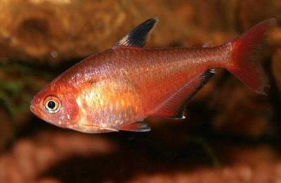 Помогите опознать рыбку опознание рыб  - Hyphessobrycon_callistus04.jpg
