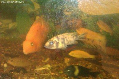 Помогите опознать рыбку опознание рыб  - IMAG0375.jpg