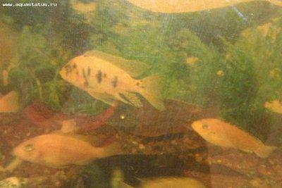 Помогите опознать рыбку опознание рыб  - IMAG0379.jpg