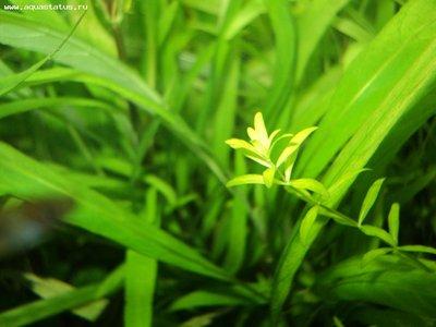 Аквариумные растения - опознание растений. - DSC03367.JPG