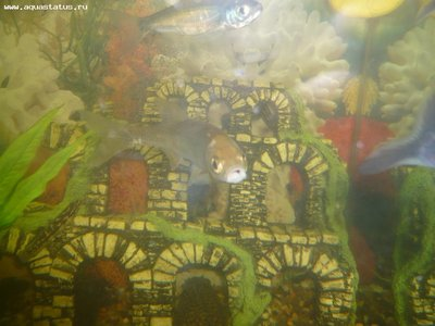 Елец и уклейка в аквариуме - P1070136_1.jpg