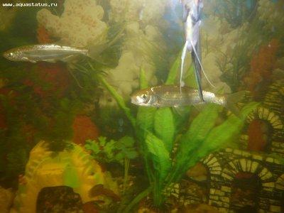Елец и уклейка в аквариуме - P1070148_1.jpg