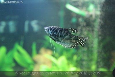 Мой аквариум 200 литров vodila  - IMG_0467.JPG