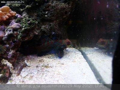 Морской мини аквариум 40 литров Metal  - мандаринка.JPG