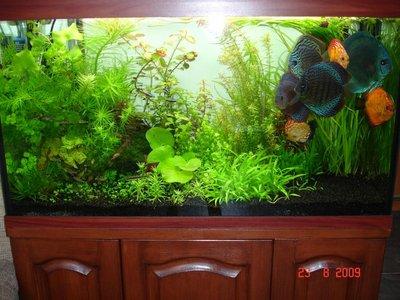 Мои аквариумы Алексей7  - DSC06247.JPG