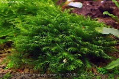 Мох феникс Phoenix Moss - Fissidens fontanus  - Phoenix moss.jpg