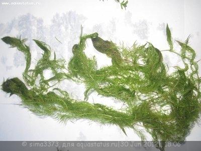 Аквариумные растения - опознание растений. - IMG_1242.JPG
