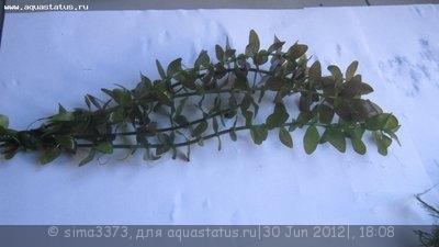 Аквариумные растения - опознание растений. - IMG_1234.JPG
