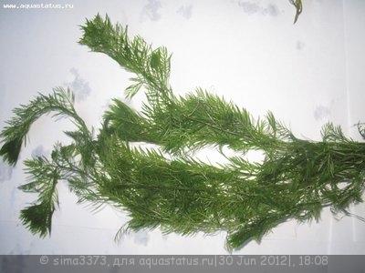 Аквариумные растения - опознание растений. - IMG_1243.JPG