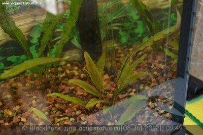Аквариумные растения - опознание растений. - DSC_0593.JPG