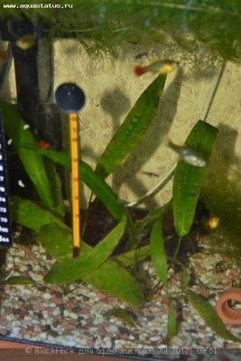 Аквариумные растения - опознание растений. - DSC_0589.JPG
