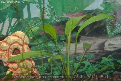 Аквариумные растения - опознание растений. - DSC_0601.JPG
