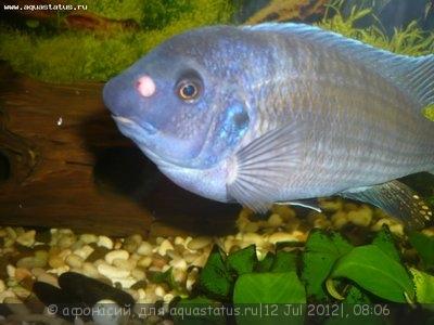 У рыбки вскочила такая бородавка. Растёт. Что делать? - P1100596.JPG