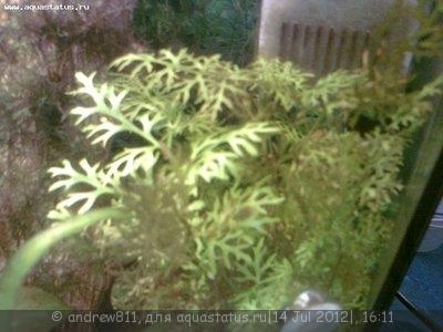 Аквариумные растения - опознание растений. - Фото0300.jpg